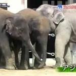 とっておき!動物の仲間たち「ラオスから来た子ゾウたち~京都市動物園~」 20160325