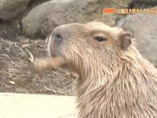 とっておき!動物の仲間たち「いい湯だな!カピバラの家族~伊豆シャボテン公園~」 20160325