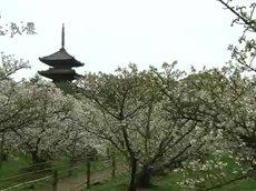 京都 国宝浪漫「風雅な国宝と桜の競演 仁和寺・平野神社」 20160412