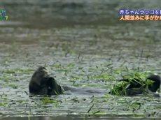 """地球ドラマチック「ラッコの赤ちゃんを救え!~""""501号""""が海に帰る日~」 20160507"""