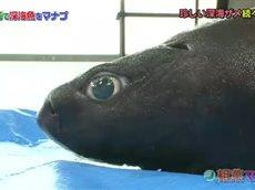 相葉マナブ 『春の静岡・駿河湾で深海魚を学べ!』深海魚の引き上げに大海原へ! 20160522