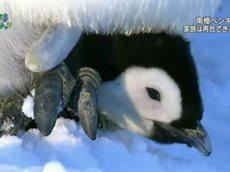 地球ドラマチック「南極ペンギン物語~スノウ 誕生から旅立ちまで~」 20160528
