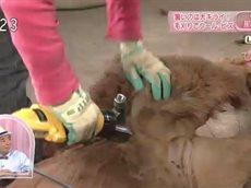 ひるブラ「超スリムに!アルパカの毛刈り~栃木・那須町~」 20160608