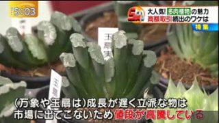 """ゆうがたサテライト1鉢150万円も!""""金のなる植物""""狙う窃盗団!? 20170504"""