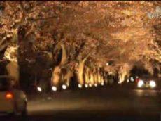 ドキュメント72時間「夜の森 桜のトンネルで」 20170512