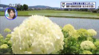 猫のひたいほどワイド▽最高評価を獲得!平塚のお米「はるみ」を調査 20170605