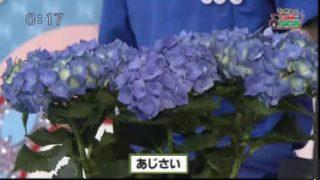猫のひたいほどワイド▽今が最盛期!梅の収穫をお手伝い(茅ヶ崎市) 20170607