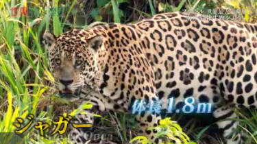 世界ふしぎ発見!ブラジル パンタナール 大湿原が生んだ野生の王国 20171014