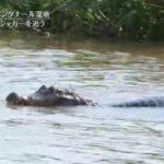 世界遺産「大湿地のジャガーをとらえる!」ブラジル 20180121