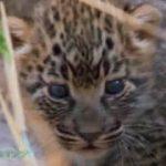 地球ドラマチック「野生ヒョウのマナナ~絆を深めた17年間~」 20180121