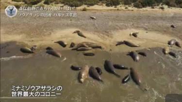 世界遺産「シャチがゾウアザラシを襲う!南半球の命のゆりかご」 20180211