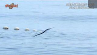 ダーウィンが来た!「日本の海に出没!謎の空飛ぶ十字架」 20180325