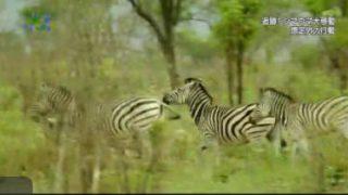地球ドラマチック・選「シマウマ追跡!アフリカ最長の大移動」 20180328