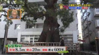 所さんの目がテン!日本の巨木ベスト3! 20180415