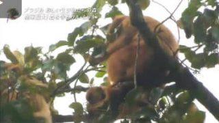 世界遺産「南米最大のサルが守る森」 20180422