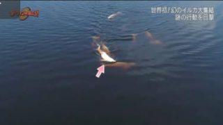 ダーウィンが来た!「世界初撮影!幻のイルカ大集結」 20180508