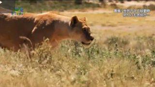 地球ドラマチック「最強!世界のネコ科動物」 20180512